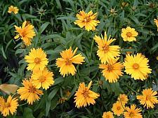 COREOPSIS grandiflora Sunny Day (='Balcorsunay'), Tickseed