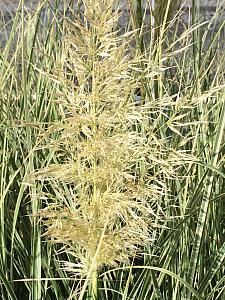 CORTADERIA selloana 'Silver Comet', Pampas Grass