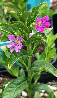 CUPHEA hyssopifolia 'Allyson', False Heather, Mexican Heather