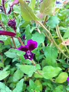 CUPHEA lanceolata 'Purple Passion', Purple Passion Batface Cuphea