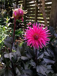 DAHLIA hybrid 'Electro Pink', Dahlia