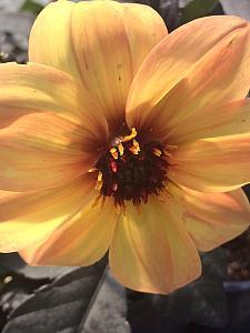 DAHLIA hybrid 'Mystic Haze', Dahlia