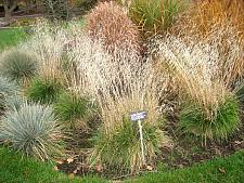 DESCHAMPSIA caespitosa, Tufted Hair Grass, Hassock Grass, Tussock Grass