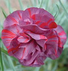 DIANTHUS caryophyllus 'Chomley Farran', Carnation, Clove Pink