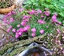 DIANTHUS Beauties 'Kahori', Border Pinks
