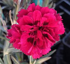 DIANTHUS caryophyllus 'Odessa Red', Odessa carnation