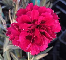 DIANTHUS caryophyllus 'Odessa Red', Odessa carnation