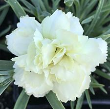 DIANTHUS caryophyllus 'Odessa Yellow Bling Bling', Odessa carnation
