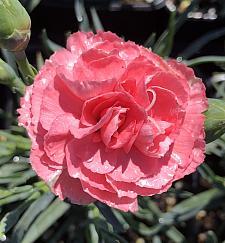 DIANTHUS caryophyllus hybrid Devon Cottage 'Rosie Cheeks', Carnation, Clove Pink