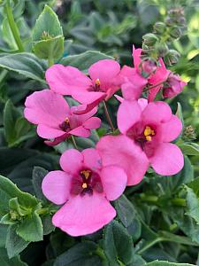 DIASCIA My Darling 'Berry', Twinspur