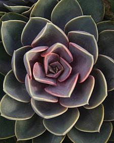 ECHEVERIA hybrid 'Perle Von Nurnberg',