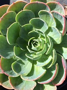 ECHEVERIA species, Hens and Chicks