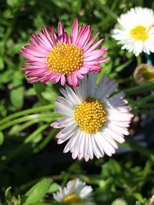 ERIGERON karvinskianus 'Spindrift', Fleabane, Mexican or Santa Barbara Daisy