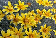 ERIOPHYLLUM lanatum, Woolly Sunflower, Oregon Sunshine