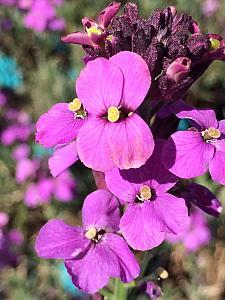 ERYSIMUM 'Bowles' Mauve', Alpine Wallflower