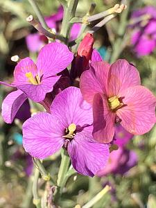 ERYSIMUM linifolium 'Variegatum', Alpine Wallflower
