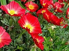 ESCHSCHOLZIA californica 'Thai Silk Fire Bush', California Poppy