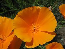 ESCHSCHOLZIA californica 'Orange King', California Poppy