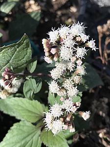 EUPATORIUM rugosum 'Chocolate', White Snakeroot