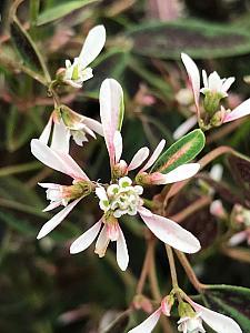 EUPHORBIA hybrid 'Starblast Soft Pink', Spurge