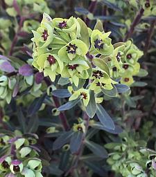 EUPHORBIA x martinii, Spurge