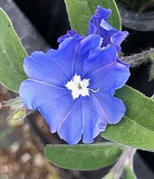 EVOLVULUS glomeratus 'Blue Daze', Dwarf Morning Glory