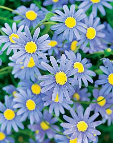 FELICIA amelloides 'Forever Blue', Blue Marguerite