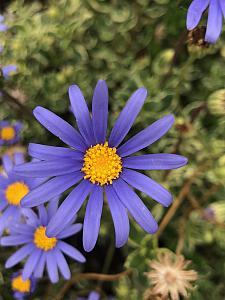 FELICIA amelloides 'Variegata', Variegated Blue Marguerite Daisy
