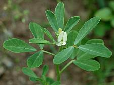 FENUGREEK (TRIGONELLA foenum-graecum), Heirloom Fenugreek