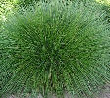 FESTUCA rubra, Red Fescue, Creeping Red Fescue