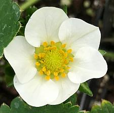 FRAGARIA x ananassa 'Chandler' (Strawberry), Strawberry