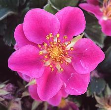 FRAGARIA 'Lipstick', Ornamental Strawberry