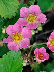 FRAGARIA Pink Panda (='Frel'), Ornamental Strawberry