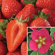 FRAGARIA x ananassa 'Toscana', Everbearing Strawberry
