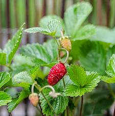 FRAGARIA vesca 'Mignonette', Alpine, Wild or Woodland Strawberry