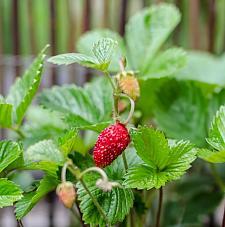 FRAGARIA vesca 'Mignonette', Alpine, Wild or Woodland Strawberry