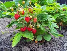 FRAGARIA vesca var. vesca, Alpine, Wild or Woodland Strawberry