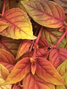 FUCHSIA hybrid 'Autumnale', Fuchsia