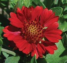 GAILLARDIA aristata 'Gallo Bright Red', Blanketflower