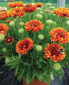 GAILLARDIA x grandiflora 'Fanfare Blaze', Blanketflower