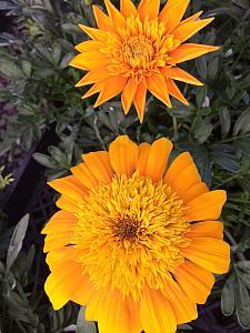 GAZANIA SunBathers 'Nahui', Treasure Flower