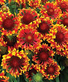 GAILLARDIA 'Sun Devil', Blanketflower, Sun Series