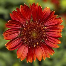 GAILLARDIA aristata 'Sunrita Burgundy', Blanketflower