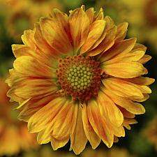 GAILLARDIA aristata 'Sunrita Peach', Blanketflower