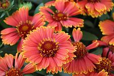 GAILLARDIA pulchella Spintop 'Yellow Touch', Blanketflower