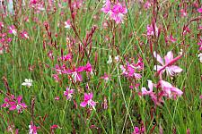 GAURA lindheimeri 'Siskiyou Pink', Beeblossom, Butterfly Flower, Wand Flower