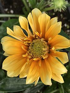 GAZANIA SunBathers 'Cremazu', Treasure Flower