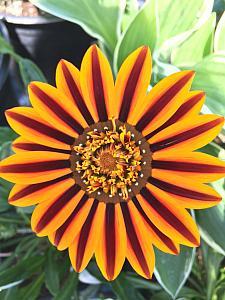 GAZANIA SunBathers 'Tikal', Treasure Flower