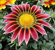 GAZANIA rigens 'Giant Violet Bicolor', Treasure Flower