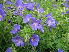 GERANIUM x 'Johnson's Blue', Crane's Bill